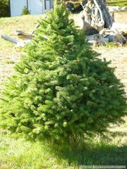 Douglasie Weihnachtsbaum Kaufen.Douglasie Naturschutz Wiki